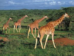 Rundreisen in Kenia: Giraffen in der Serengeti